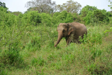 Elephant at Dambulla - Sri Lanka