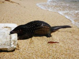 A Pangolin at the beach near Pacitan