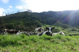 Cows near Salento, Colombia - Layback Travel