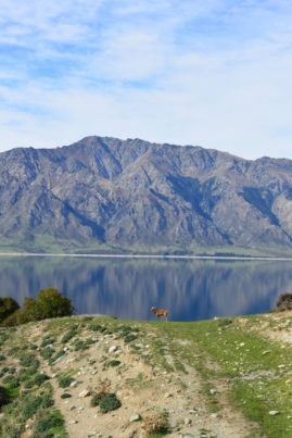 Deer @ Lake Wanaka, New Zealand - Layback Travel
