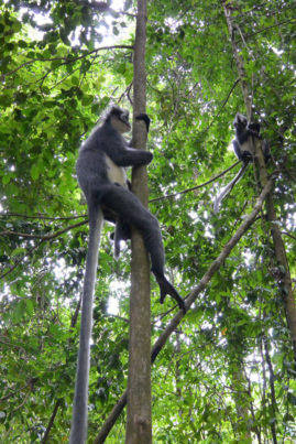 Langur monkeys in Bukit Lawang