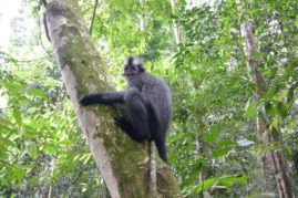 Langur Monkey Sumatra - Layback Travel