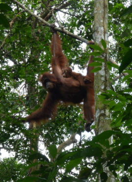 Oran Utan with small baby - Bukit Lawang, Sumatra, Indonesia - Layback Travel