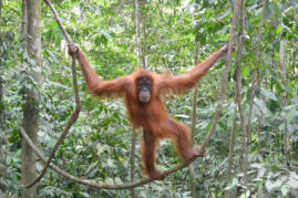 Orang Utan in Bukit Lawang, Sumatra, Indonesia - Layback Travel