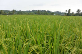 Rice field in Bukit Lawang