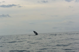 Whale Jumping Playa Venao Layback Travel