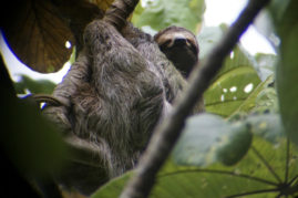 Sloth - chillin in Dominical